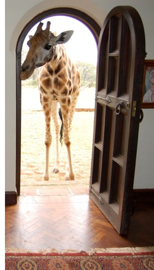unusual giraffe hotel s Eat Breakfast with a Giraffe