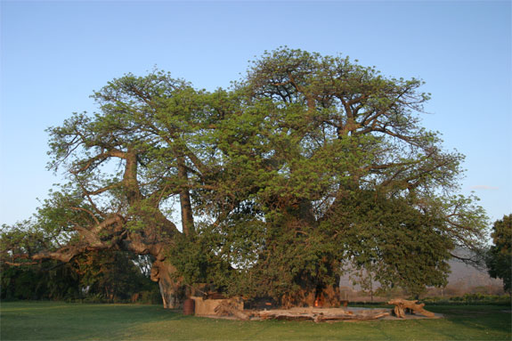 baobab bar 4 The Worlds Only Pub Thats Inside a Tree