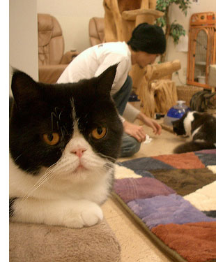calico cafe s1 The Cat Cafes of Tokyo