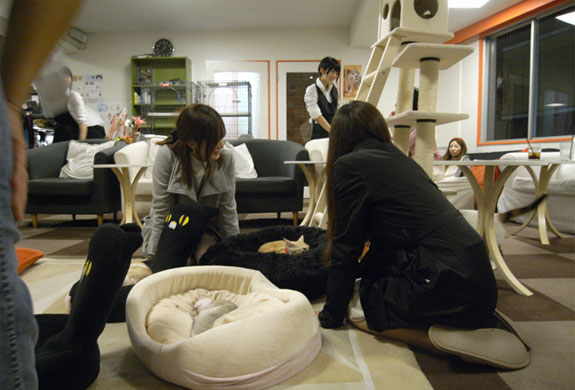 tokyo calico cat cafe 3 The Cat Cafes of Tokyo