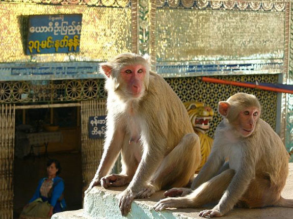 mount popa monkey 2 5 Temples & Monasteries <br>on Perilous Cliff Sides