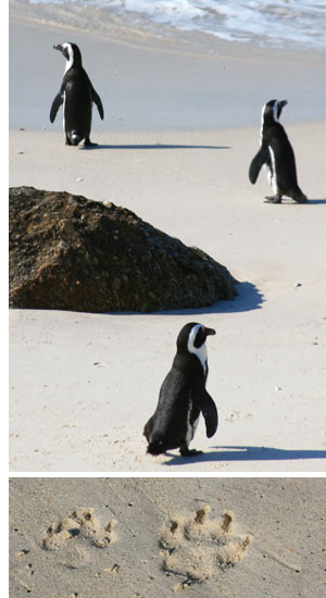 beach penguin footprints See, Swim With Penguins <br>(Not in Antarctica)