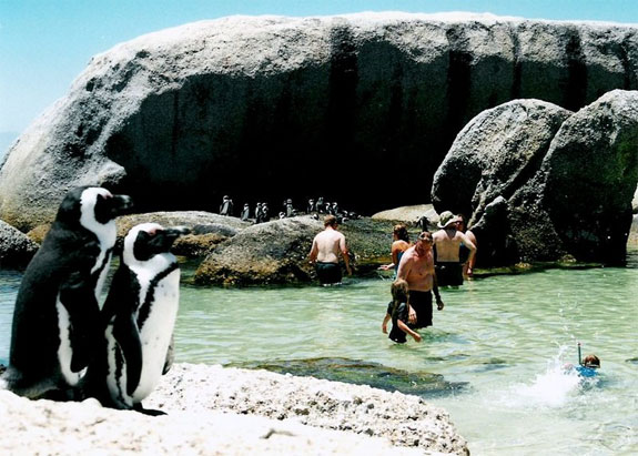 boulders beach penguins 1 See, Swim With Penguins <br>(Not in Antarctica)