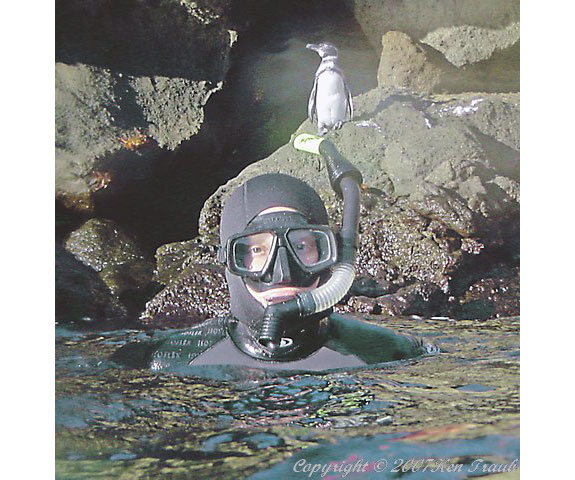 diver penguin See, Swim With Penguins <br>(Not in Antarctica)