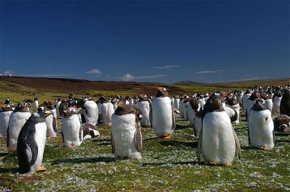 falkland penguins See, Swim With Penguins <br>(Not in Antarctica)