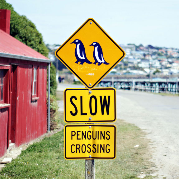 nz penguins See, Swim With Penguins <br>(Not in Antarctica)
