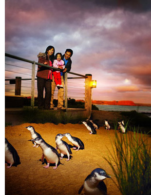 phillip island penguin See, Swim With Penguins <br>(Not in Antarctica)