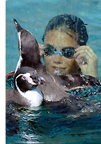 unusual germany penguin s See, Swim With Penguins <br>(Not in Antarctica)