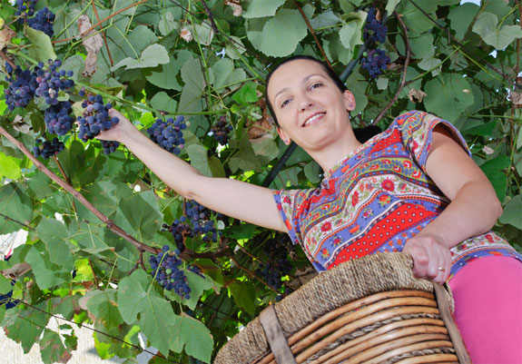 picking grapes 1 4 Cool Ideas For <br>Short Term Work Abroad