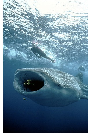 holbox whale shark s Swimming With Whale Sharks
