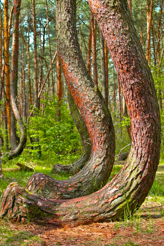 crooked forest travel 1 The Mystery of the Crooked Forest