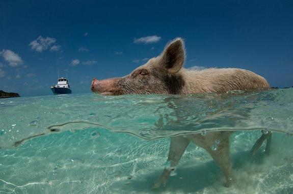 pig beach bahamas 1 This Little Piggy Goes Swimming