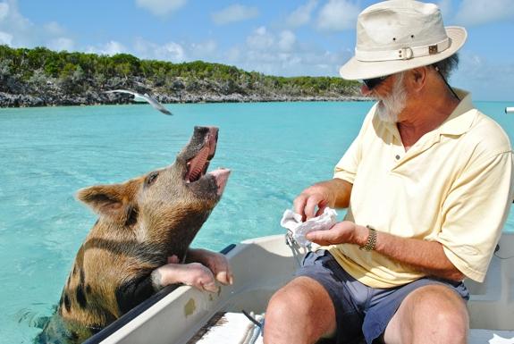 pig swim exuma bahamas caribbean travel 1 This Little Piggy Goes Swimming