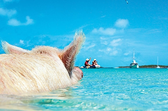 pig swim exuma bahamas caribbean travel 2 This Little Piggy Goes Swimming
