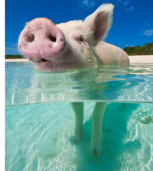 pig swim exuma bahamas caribbean travel s This Little Piggy Goes Swimming