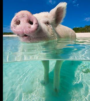 pig swim exuma bahamas caribbean travel s This Little Piggy Goes Swimming