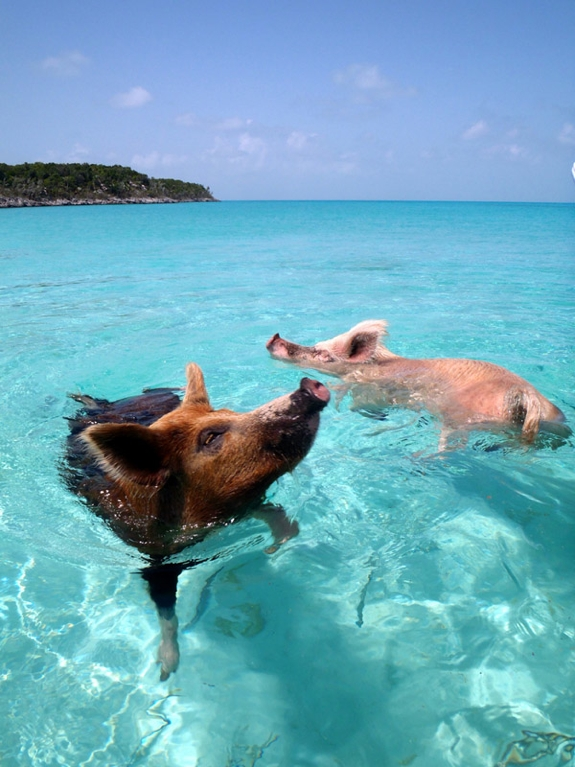pig swim exuma bahamas travel 5 This Little Piggy Goes Swimming