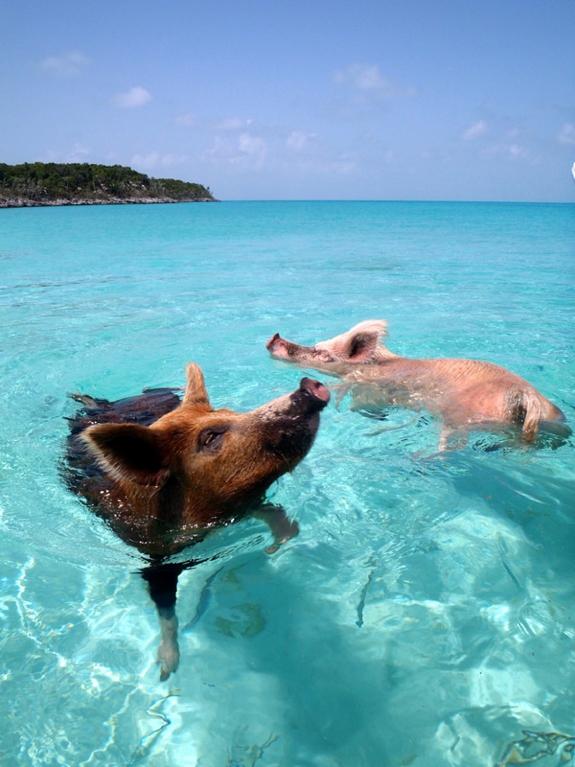 pig swim exuma bahamas travel 5 This Little Piggy Goes Swimming