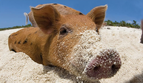 pig swim exuma bahamas travel 7 This Little Piggy Goes Swimming