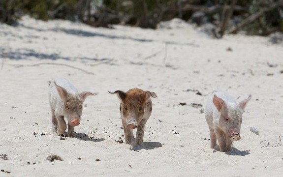 pig swim exuma bahamas travel 8 575x360 This Little Piggy Goes Swimming