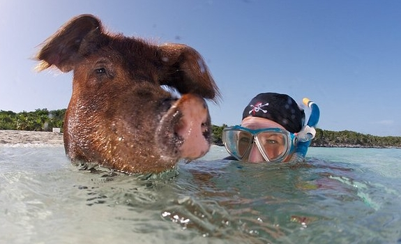 pig swim exuma bahamas travel 9 This Little Piggy Goes Swimming